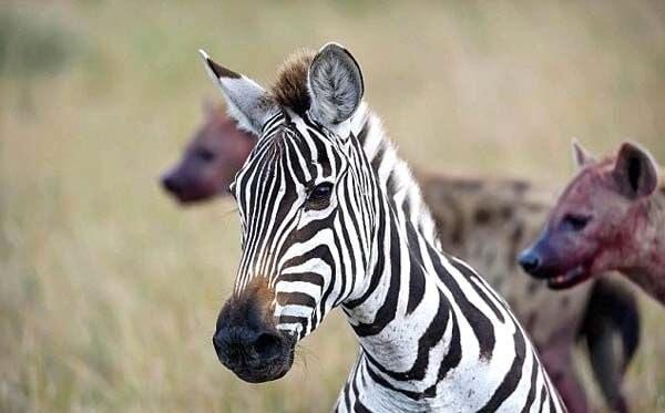 Hamile zebrayı parçaladılar
