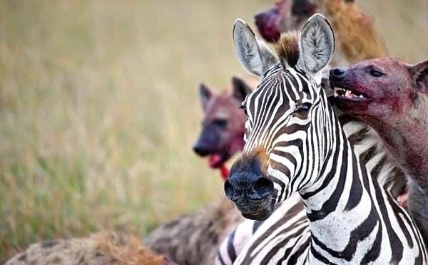 Hyena attacking zebra