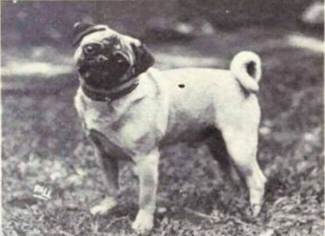 Köpeklerin 100 yıllık evrimi