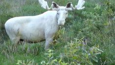 İsveç'te eşi benzeri bulunmayan beyaz geyik görüntülendi