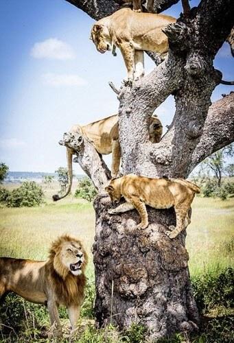 Aslanların büyük korkusu