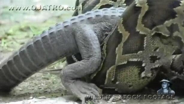 Dev piton timsahı yuttu