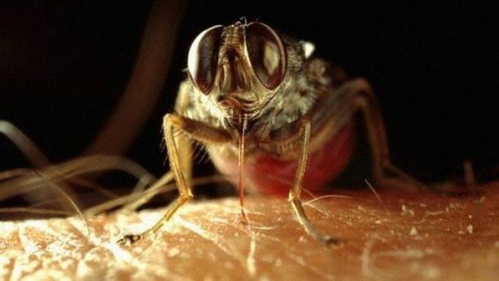 Bu böcekler ölüm saçıyor