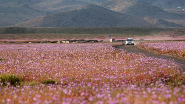 Atacama Çölünde Çiçek Açtı !
