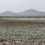 dunyanin-en-kurak-colu-atacama-cicek-acti-1-150x150 Dünyanın en kurak çölü Atacama çiçek açtı Haberler