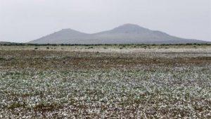 dunyanin-en-kurak-colu-atacama-cicek-acti-1-300x169 Dünyanın en kurak çölü Atacama çiçek açtı