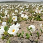 dunyanin-en-kurak-colu-atacama-cicek-acti-2-150x150 Dünyanın en kurak çölü Atacama çiçek açtı Haberler