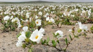 dunyanin-en-kurak-colu-atacama-cicek-acti-2-300x169 Dünyanın en kurak çölü Atacama çiçek açtı