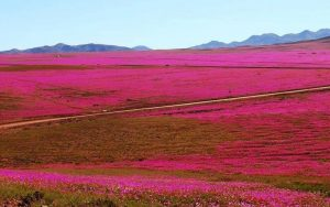 dunyanin-en-kurak-colu-atacama-cicek-acti-6-300x188 Dünyanın en kurak çölü Atacama çiçek açtı