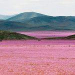 dunyanin-en-kurak-colu-atacama-cicek-acti-7-150x150 Dünyanın en kurak çölü Atacama çiçek açtı Haberler