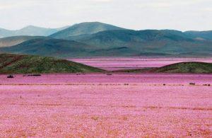 dunyanin-en-kurak-colu-atacama-cicek-acti-7-300x195 Dünyanın en kurak çölü Atacama çiçek açtı
