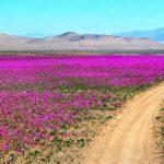 dunyanin-en-kurak-colu-atacama-cicek-acti-8-150x150 Dünyanın en kurak çölü Atacama çiçek açtı Haberler
