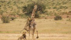 Aslan ailesinin zürafa avı