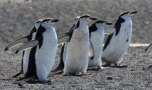 çember-sakalli-penguen-300x177 Antarktika'da Bulunan Bir Penguen Kolonisinde Birey Sayısı %77 Azaldı! Haberler