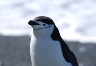 Antarktika'da Bulunan Bir Penguen Kolonisinde Birey Sayısı %77 Azaldı!
